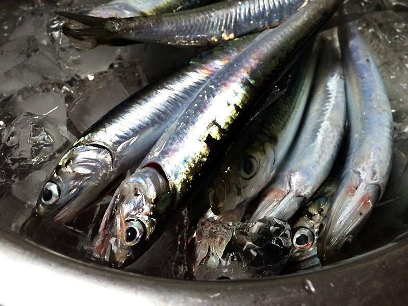 20年ぶりに釣った魚は南芦屋浜のカタクチイワシ