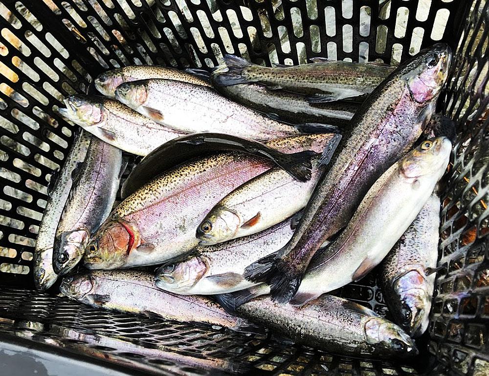 管理釣り場で釣れたいろいろなサイズのニジマス