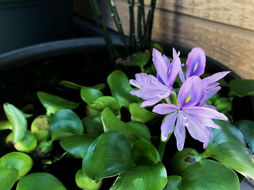 夏の日に開花した「青い悪魔」