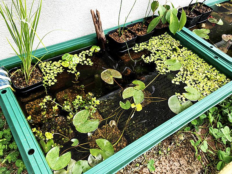 プラ舟は面積が広いから水生植物を配置しやすい