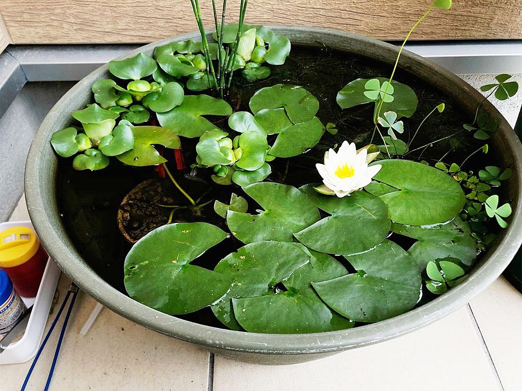 玄関先に置ける睡蓮鉢の池