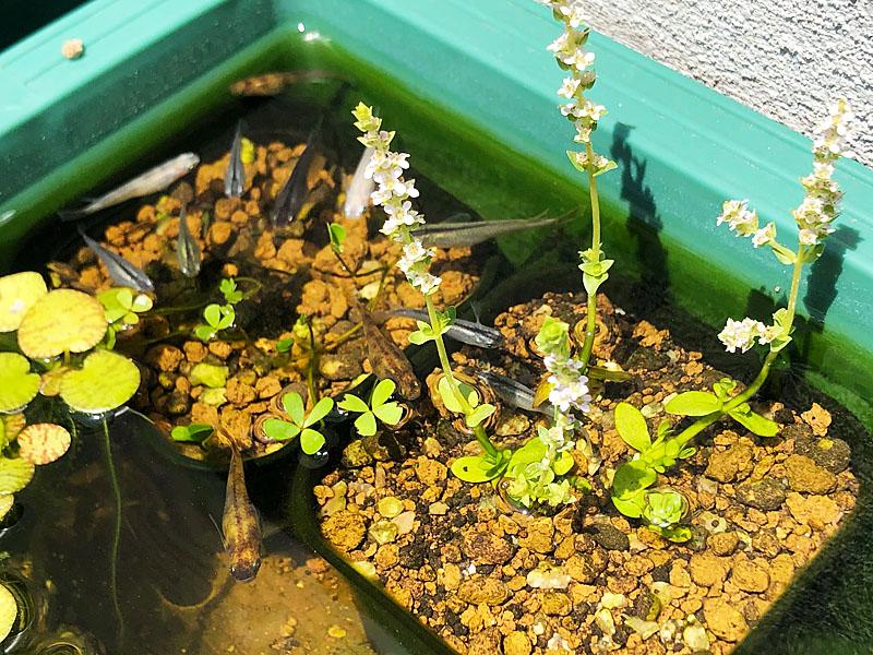 花の穂が伸びたグリーンロタラ