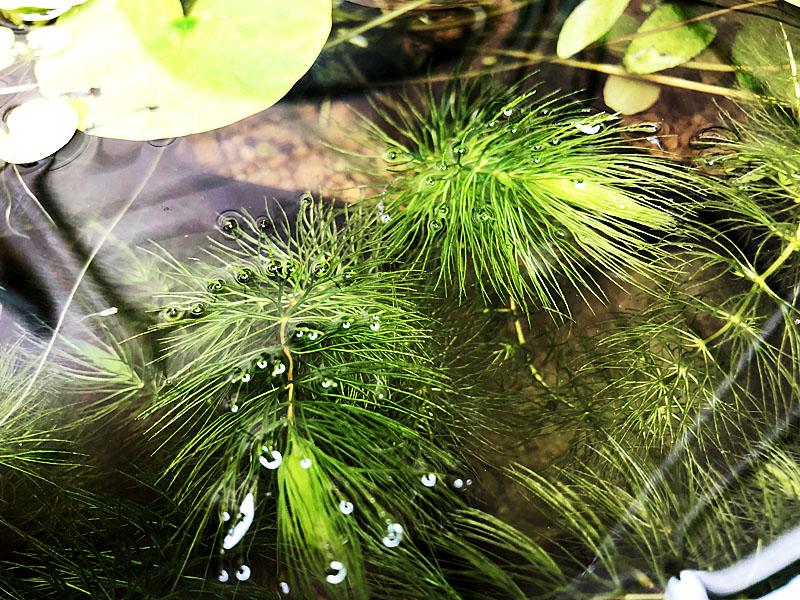 繊細で涼し気な見た目のマツモ