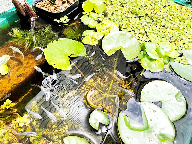 水面に浮く葉は直射日光を遮ってくれる