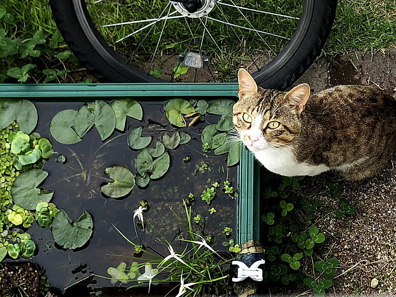 毎朝ビオトープの水を飲みに来る野良猫